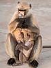 Black-Face Langur Monkeys - Chittaurgarh