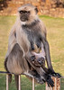 """Look what I can do!"" - Black-Face Langur Monkeys - Chittaurgarh"