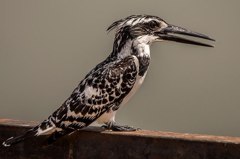 Pied Kingfisher in Jaipur