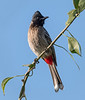 Red-vented Bulbul - Keoladeo Bird Sanctuary
