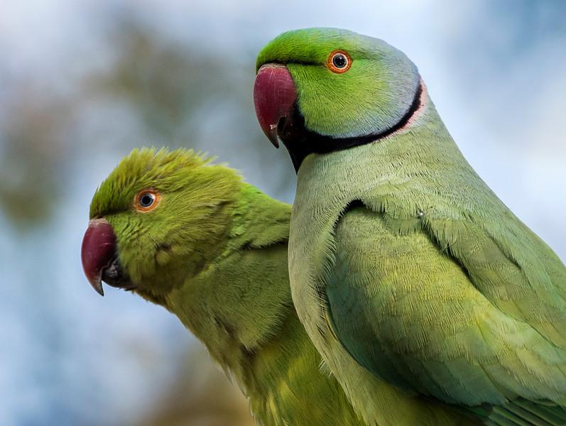 Female & Male Rose-ringed (AKA Alexadrine) Parakeets - Keoladeo Bird Sanctuary