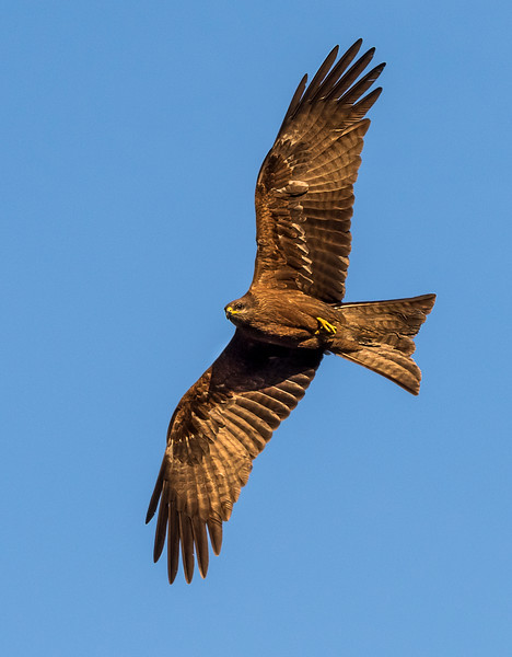 Black Kite - One of many that soared above the gardens of the hotel - New Delhi