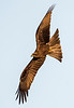 Black Kite - Black Kite - One of many that soared above the gardens of the hotel - New Delhi