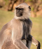 Black-Face Langur Monkey - Chittaurgarh