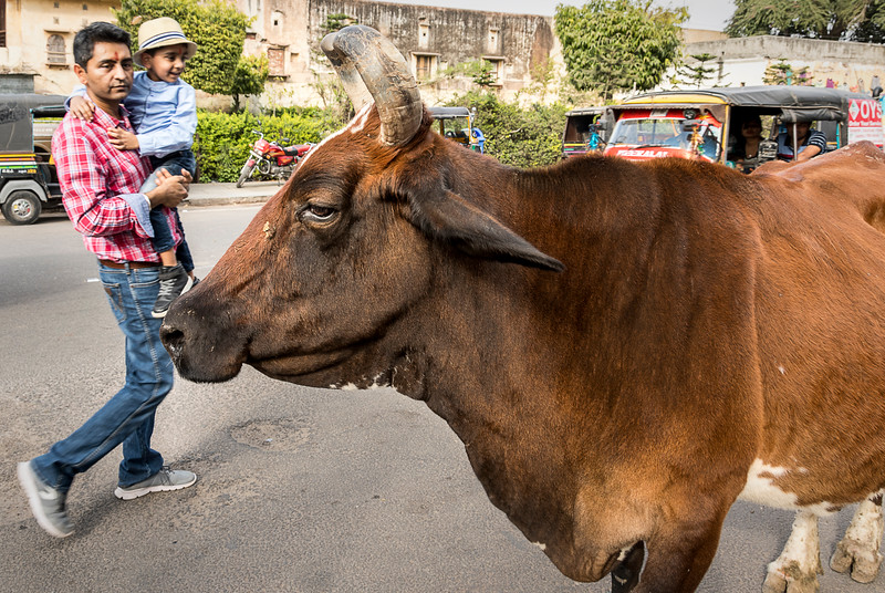 Cow in the Street - Palace of the Winds Market - Jaipur