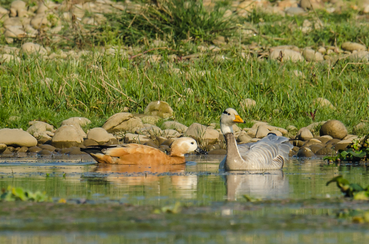 Bar-headed Goose with Ruddy Shelduck