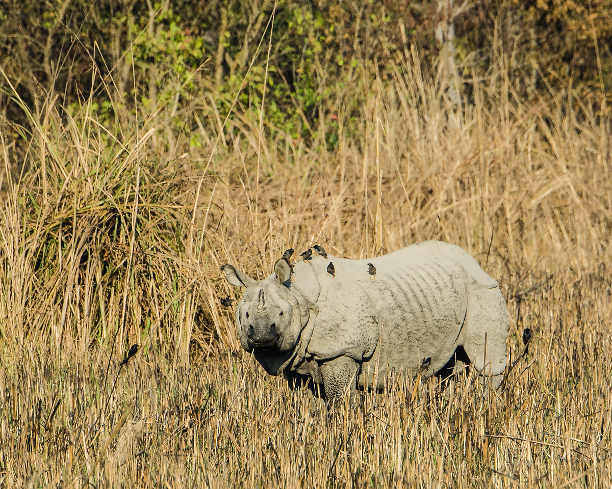 Asian One-horned Rhinoceros