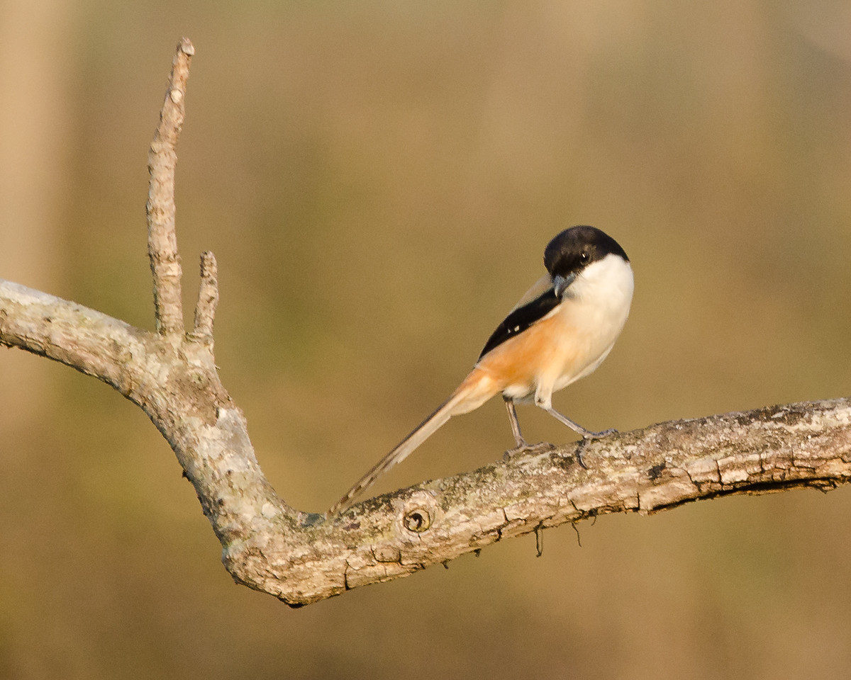 Long-tailed Shrike - Tricolor