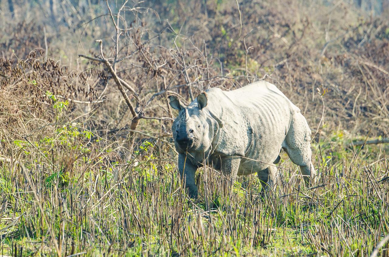 Asian One-horned Rhinoceros