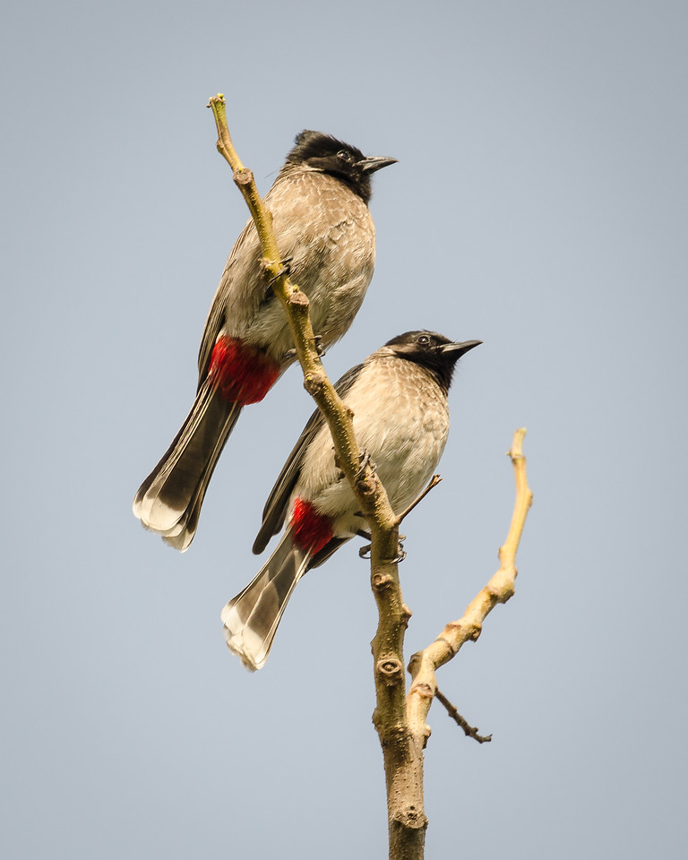 Red-vented Bulbuls