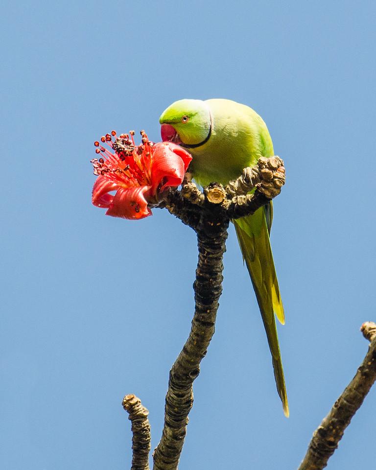 Rose-ringed Parakeet on Cotton Silk Tree