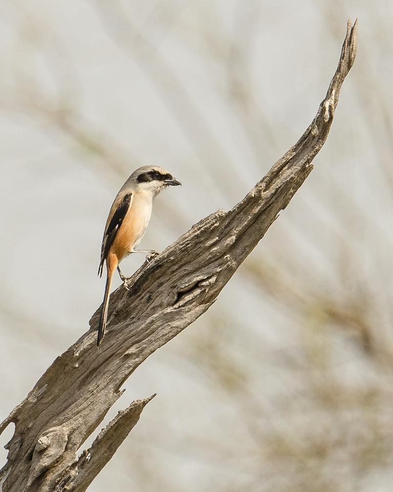 Long-tailed Shrike