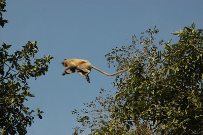 Monkeys got startled as we passed by and roamed around Panna Tiger Reserve.
