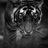 The Tiger's Eyes