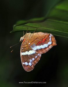 Sleeping Butterfly, Belize