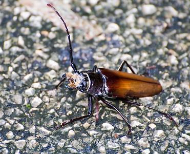 Big Longhorn Beetle