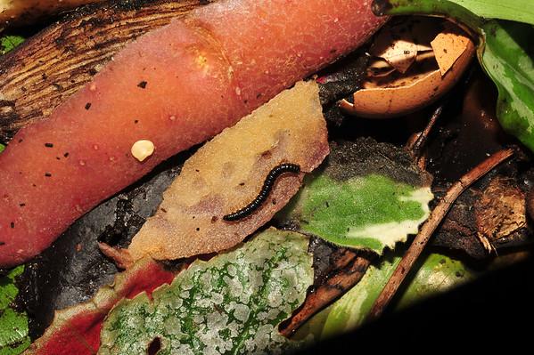 Centipedes. Darwin NT, Australia. December 2016
