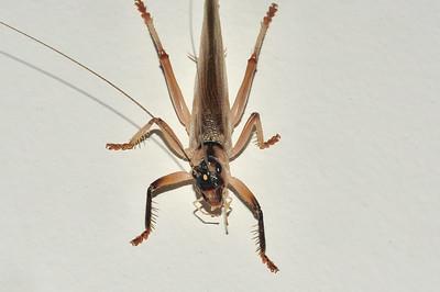 Raspy Cricket, Gryllacrididae, Mooracra sp. Darwin, NT, Australia. February 2016