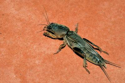 Mole cricket, Gryllotalpidae. Darwin, NT, Australia. April 2011