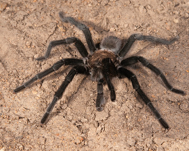 Oklahoma Brown Tarantula, Wichita Mountains Wildlife Refuge, OK