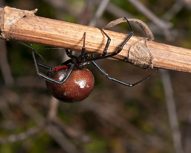 Black Widow, Wichita Mountains Wildlife Refuge, OK