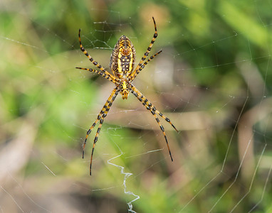 Garden Spider, Wichita Mountains Wildlife Refuge, OK