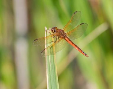 Dragon Fly, Back Bay National Wildlife Refuge, VA