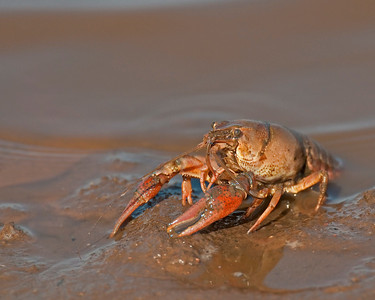 Crayfish, Hackberry Flats Wildlife Management area, OK