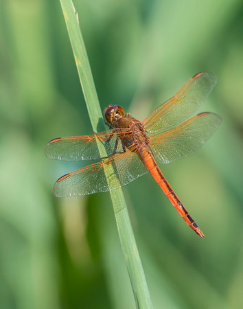 Dragon Fly, Back Bay National Wildlife Refuge, VA