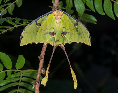 Luna Moth, Butterfly House, Texas Discovery Gardens
