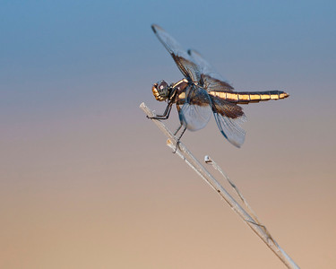 Dragonfly, Wichta Mountains Wildlife Refuge, OK