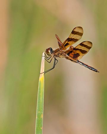 Dragonfly, Wichita Mountains Wildlife Refuge, OK