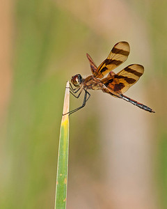 Dragonfly, Wichita Mountains Wildlife Refuge, OK