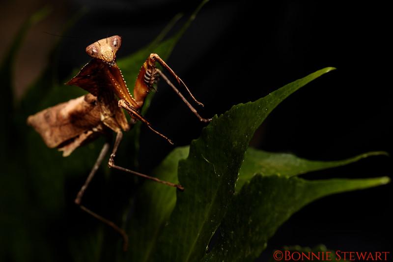 Dead-leaf Praying Mantis