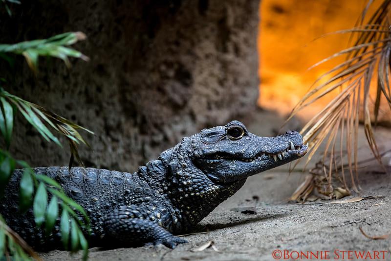 Pygmy Crocodile
