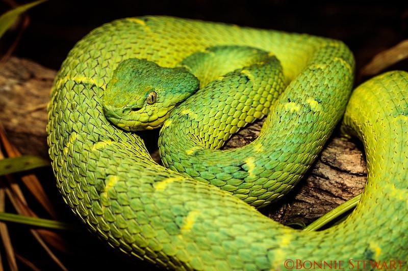Green Pit-Viper