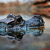 Crocodile Reflections