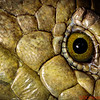 Close-up of the eye of the Prehensile tailed skink