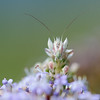 Gottesanbeterin, Flower Mantis, Harpagomantis tricolor, Ithala Game Reserve, KwaZulu Natal, Südafrika, South-Africa