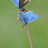 """""""Schmetterlingsblütler"""", Bläulinge auf der Blüte des Kleinen Wiesenknopfs, Sanguisorba minor, NSG Wendelstein, Schwäbische Alb, Deutschland"""