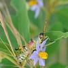 bunte Heuschrecke (Zonocerus elegans) sitzt auf Nachtschattengewächs (Solanum panduriforme), Ithala Game Reserve, KwaZulu-Natal, Südafrika, [en] elegant grasshopper, Ithala Game Reserve, South Africa