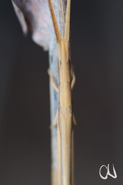 Stabheuschrecke sitzt gut getarnt auf einem trockenen Grashalm, (Cannula gracilis), Tarnung, Grashüpfer, Heuschrecke, Ezemvelo Nature Reserve, Südafrika, [en] Grass-mimicking Grasshopper, South Africa