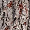 Feuerwanzen sonnen sich auf Rinde, Pyrrhocoris apterus, Firebug, bark, Stuttgart, Germany, Deutschland