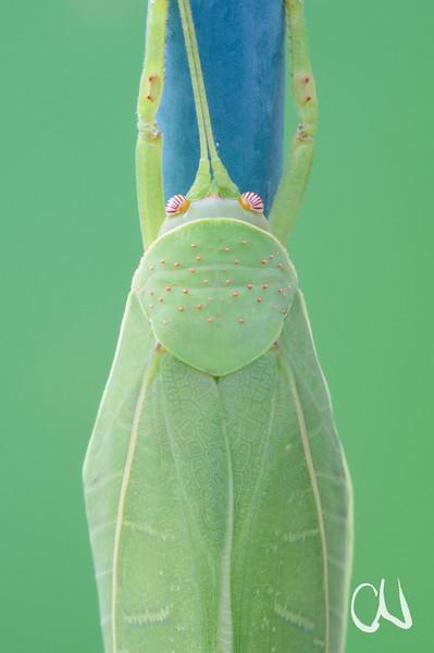 Eine große grüne Heuschrecke versucht wie ein Blatt auszusehen – was aber am Gartenzaun nur bedingt gelingt. Grüne Heuschrecke, True Leaf Katydid, Zabalius aridus, Blatt, Tarnung, Mimese, am Gartenzaun, 49 Shirley Ave, Pretoria, Südafrika, South Africa