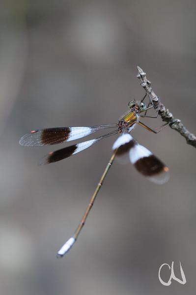 White Malachite dragonfly, (Chlorolestes umbratus), Libelle, Drakensberge, Royal Natal National Park, Südafrika