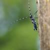 Alpenbock, Männchen, longicorn beetle, male, Rosalia alpina, Bockkäfer, auf Totholz, alter Ulmenstamm, Schwäbische Alb, Deutschland, Germany