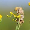 nymph of a flower mantis, Nymphe einer Blütenmantis, Gottesanbeterin, Nylsvley Nature Reserve, Limpopo, Südafrika, South Africa