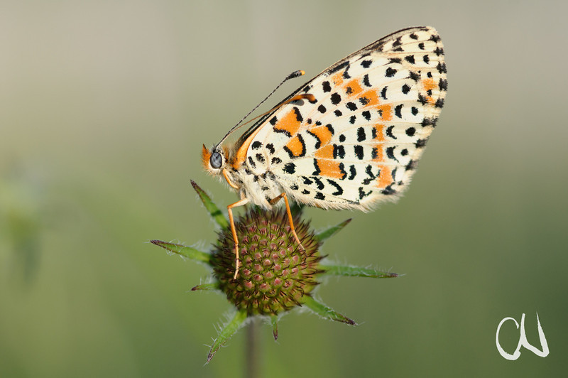 Scheckenfalter, Melitaea spec., Toskana, Italien, butterfly, Tuscany, Italy