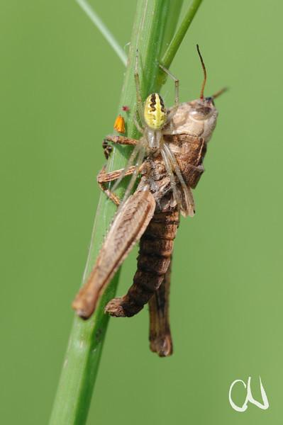 spider and grasshopper, Spinne und Heuschrecke,  Nylsvley Nature Reserve, Limpopo, Südafrika, South Africa