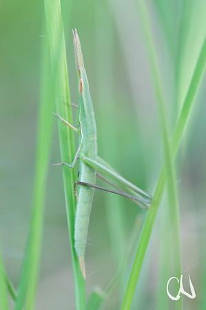nymph of Stick grasshopper, camouflage, green, gut getarnte Nymphe einer Heuschrecke, grün, Drakensberg, Golden Gate, National Park, South Africa, nördliche Drakensberge, Free State, Südafrika
